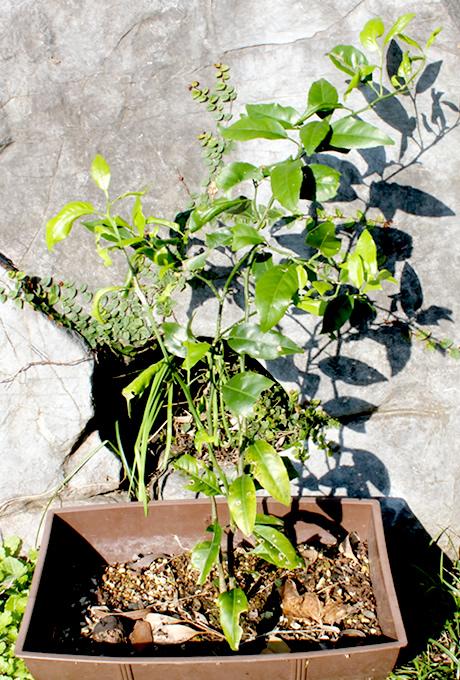 種から芽の出たタンカン(201301